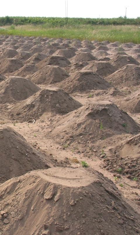 Un champ d'asperges